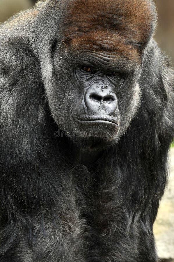 大猩猩纵向 免版税库存照片