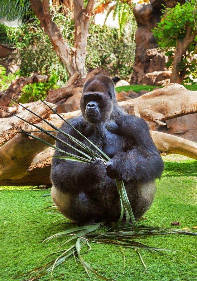 金丝猴子是什么颜色_大猩猩猴子在tenerife金丝雀的公园