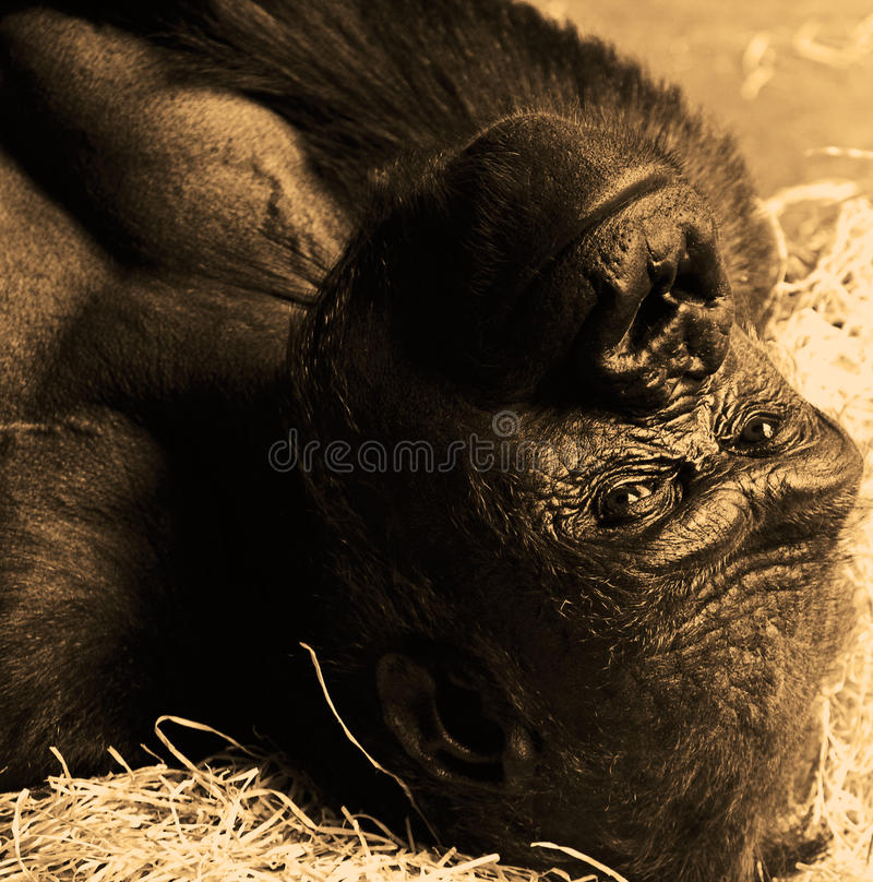 Download 大猩猩 库存照片. 图片 包括有 backarrow, 破擦声, 国王, 成人, 本质, 题头, 投反对票 - 30336734