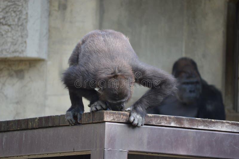 大猩猩` s孩子 免版税库存图片