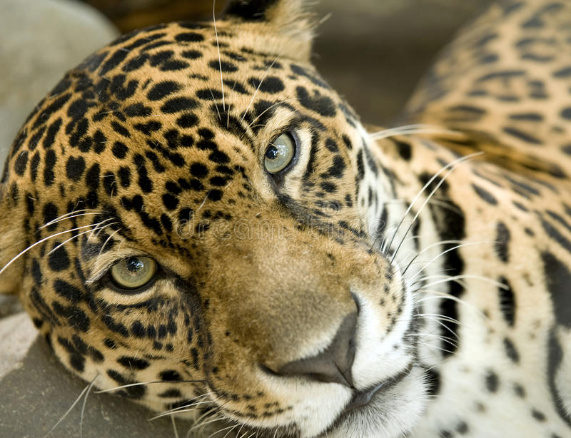 大猫肋前缘捷豹汽车onca panthera rica 图库摄影