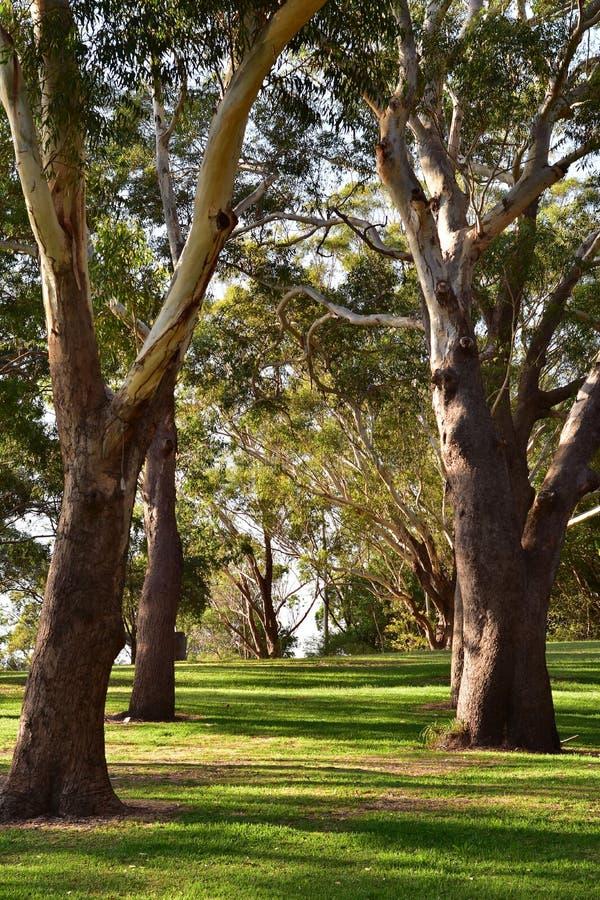 大玉树在公园 免版税库存图片