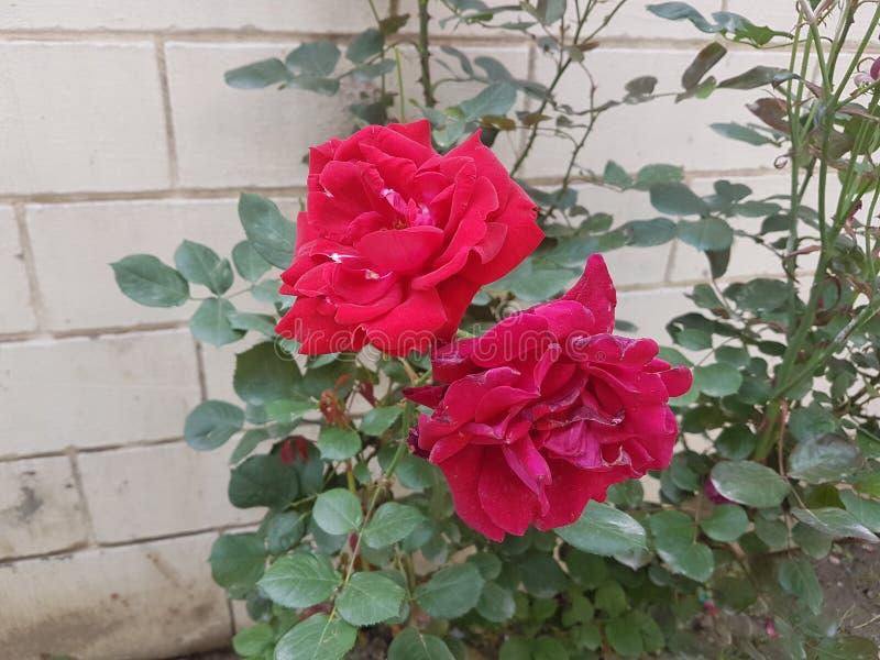 大玫瑰色花 免版税图库摄影