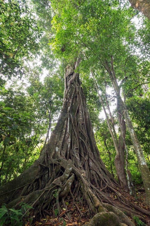 大理事会树在老挝 库存图片