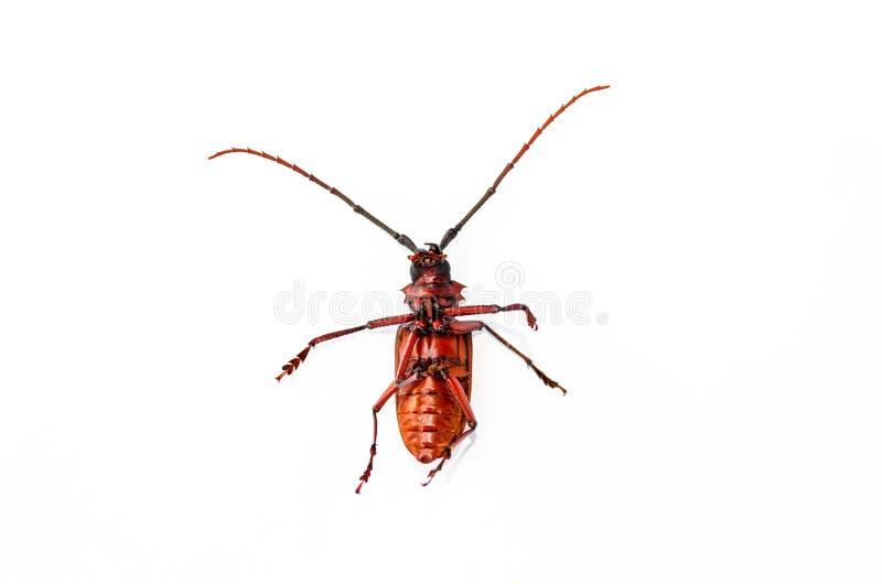 大生锈的甲虫被隔绝的技巧在白色背景 免版税库存照片