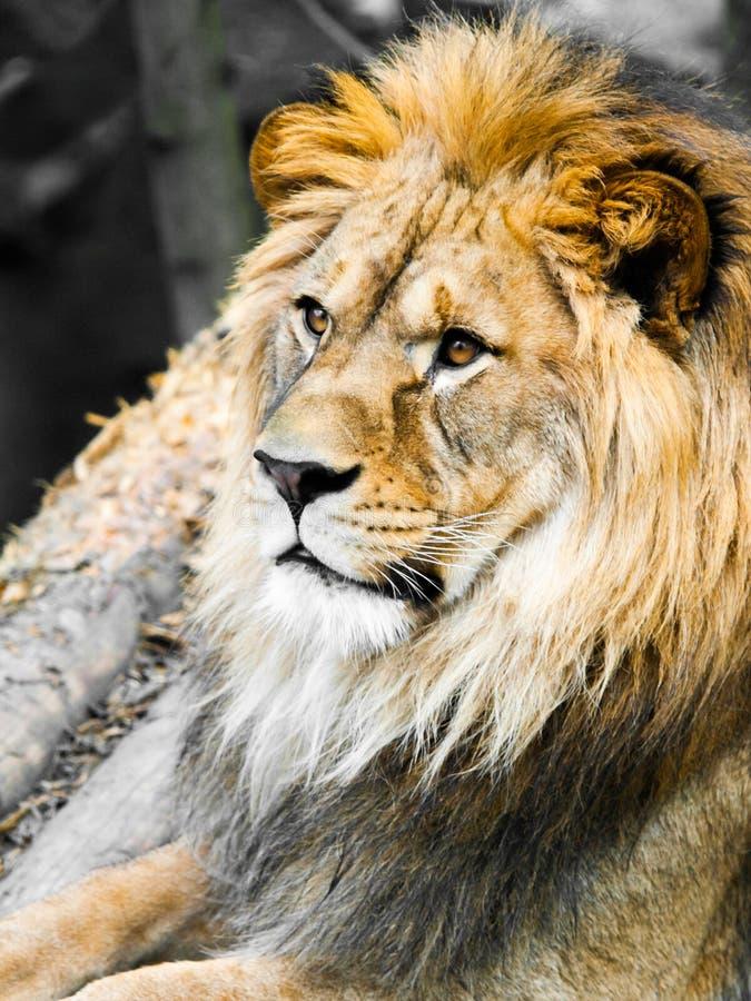 大男性狮子画象 描出观点的有巨大的分蘖性鬃毛的密林国王 库存图片