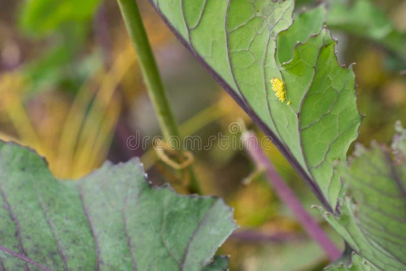 大白椰菜蝴蝶,宏指令-皮利斯brassicae鸡蛋  免版税库存照片