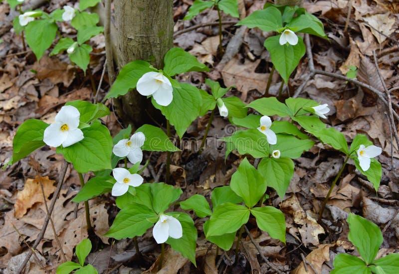 大白色延龄草群在春天森林里开花 免版税库存图片