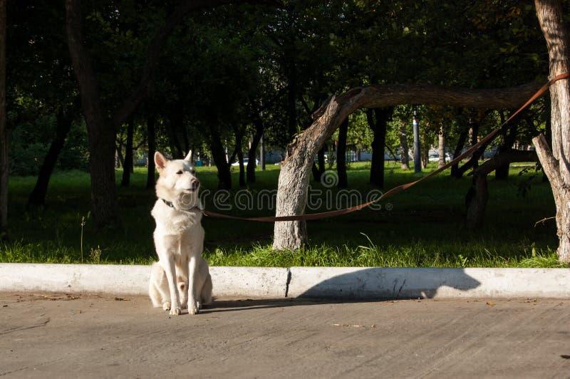 大白色狗被栓对树等待它的所有者 图库摄影