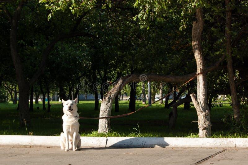 大白色狗被栓对树等待它的所有者 免版税库存图片