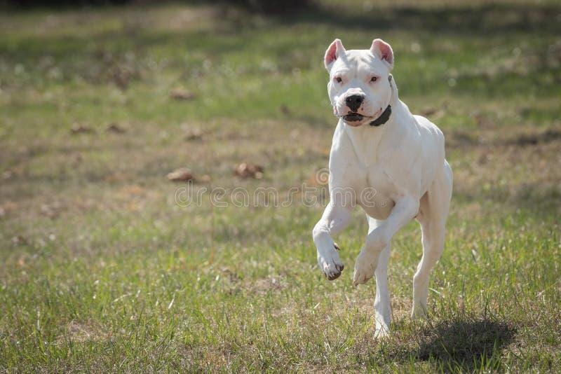 大白色狗dogo argentino赛跑 免版税库存照片