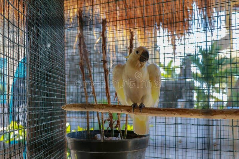 大白色鹦鹉 tanimbar的Kakaktua或goffin美冠鹦鹉cacatua在笼子的goffiniana鸟在顶面叮咬导线 热带亚洲动物区系 免版税图库摄影