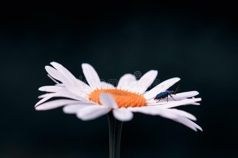 大白色Leucanthemum最大开花在春天在一个草甸的深绿和黑被弄脏的背景的 免版税库存照片