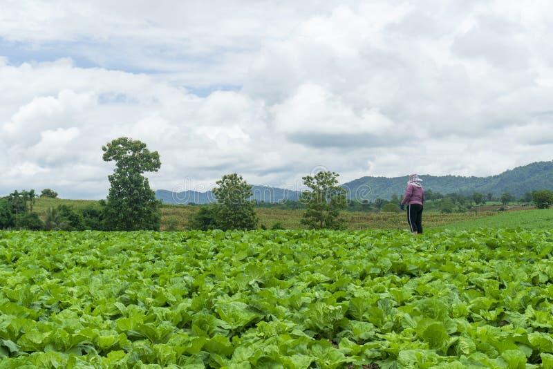 大白菜在一种充分地增长的菜剧情,圆白菜,植物大白菜生长山的,泰国 库存图片