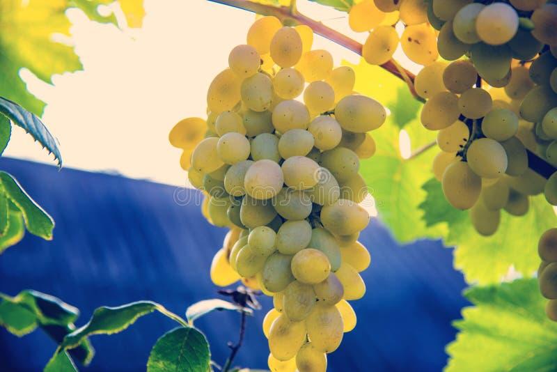 大白葡萄葡萄在一个藤露天垂悬在庭院里有宜人的温暖的光的 库存照片