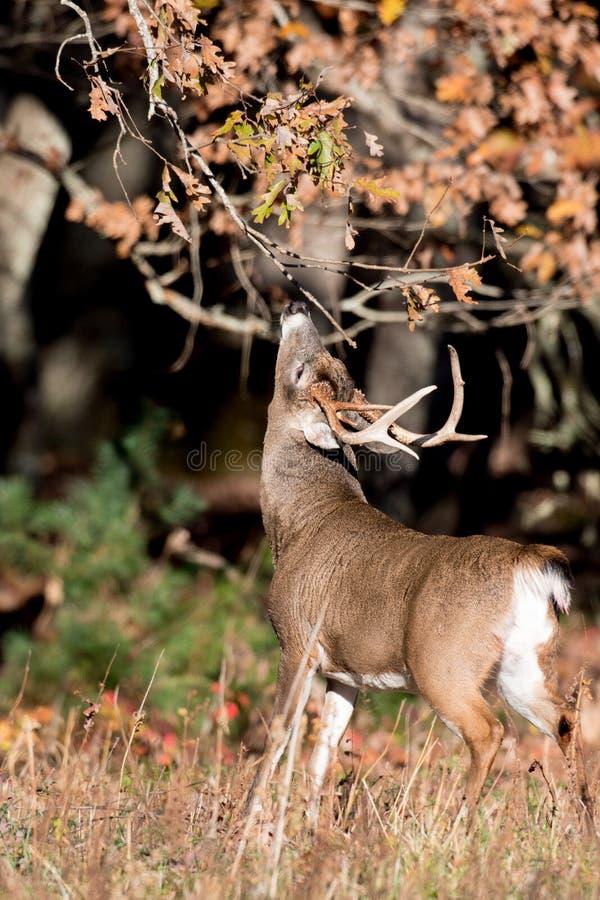 大白被盯梢的鹿大型装配架 免版税库存图片