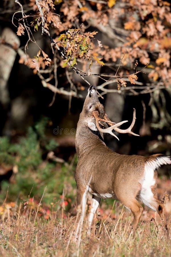 大白被盯梢的鹿大型装配架 库存照片
