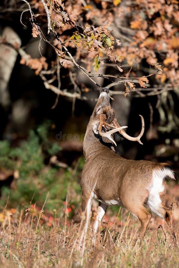 大白被盯梢的鹿大型装配架 免版税库存照片