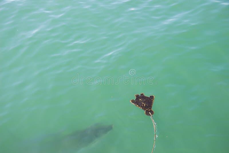 大白鲨鱼偷偷靠近的诱饵3 免版税库存图片