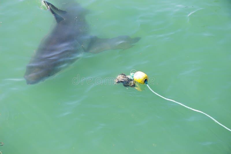 大白鲨鱼偷偷靠近的诱饵5 免版税库存照片