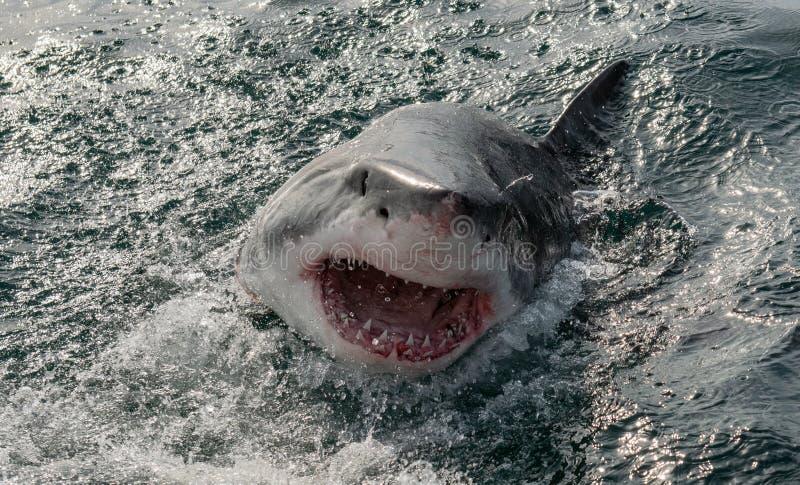 大白鲨鱼在海洋水中攻击 库存图片