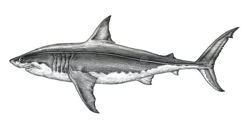 大白鲨鱼手图画葡萄酒板刻例证 皇族释放例证