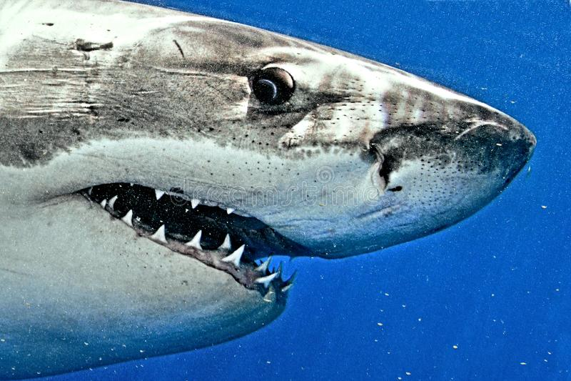 大白鲨鱼特写镜头 免版税库存图片