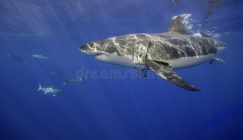 大白鲨鱼瓜达卢佩河墨西哥. 颜色, 环境.