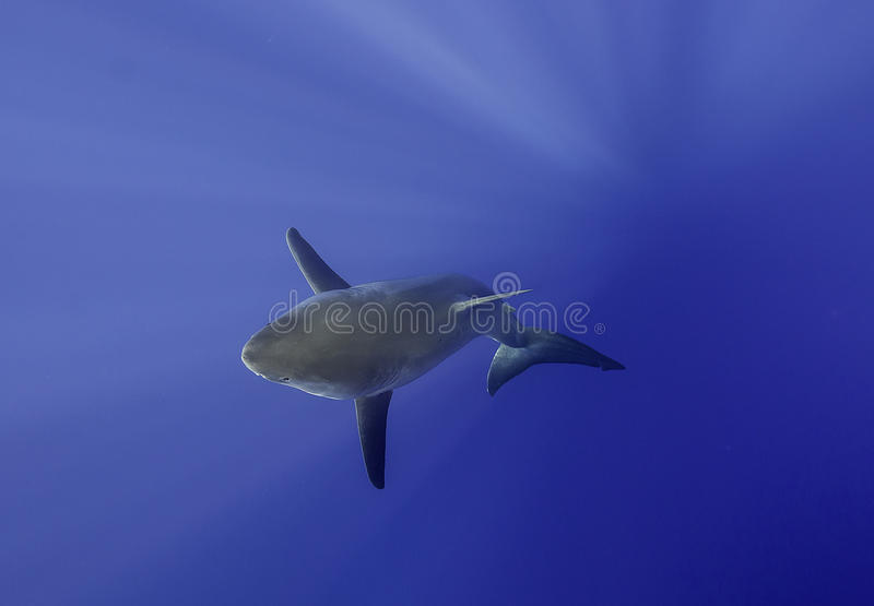 大白鲨鱼瓜达卢佩河墨西哥. 次幂, 视图.