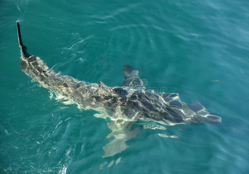 大白鲨鱼(噬人鲨属carcharias)在水中 免版税库存照片