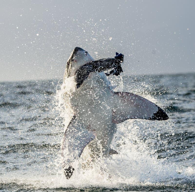 大白鲨鱼& x28; 噬人鲨属carcharias& x29;破坏在攻击 免版税库存照片