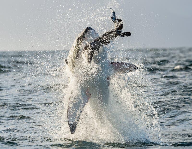 大白鲨鱼(噬人鲨属carcharias)破坏 免版税图库摄影