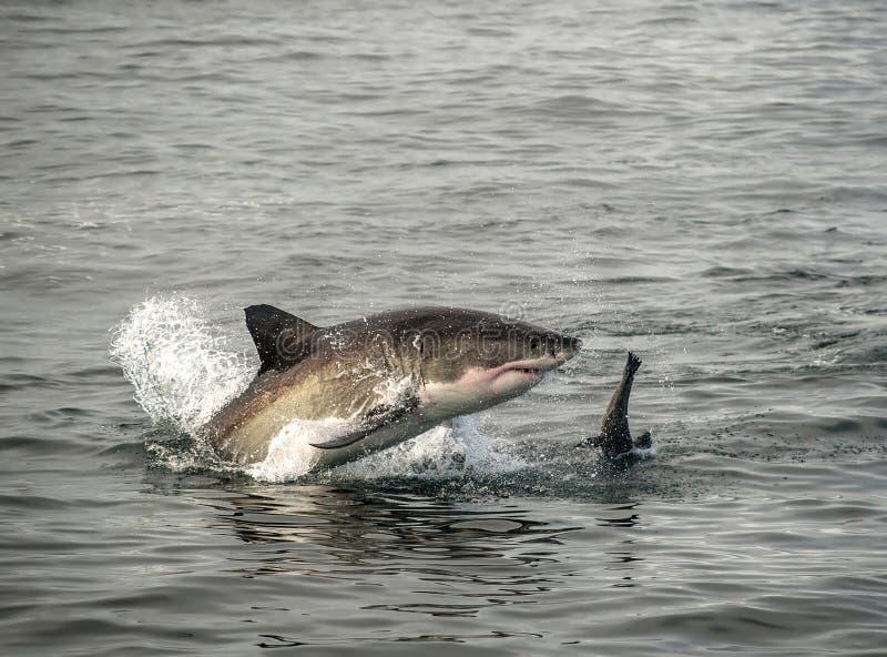 大白鲨鱼破坏 免版税库存照片