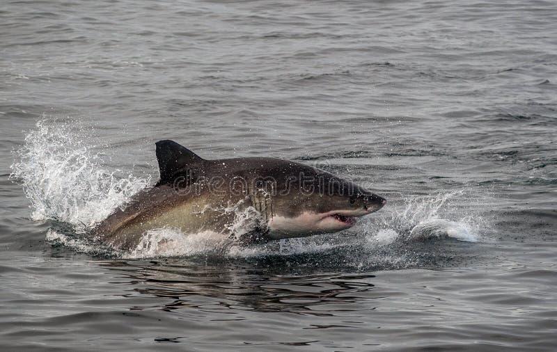 大白鲨鱼破坏 免版税库存图片