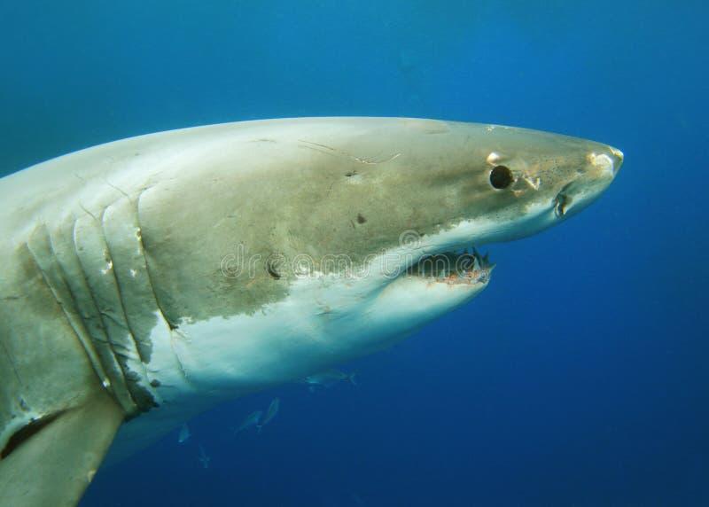 大白鲨鱼 免版税图库摄影