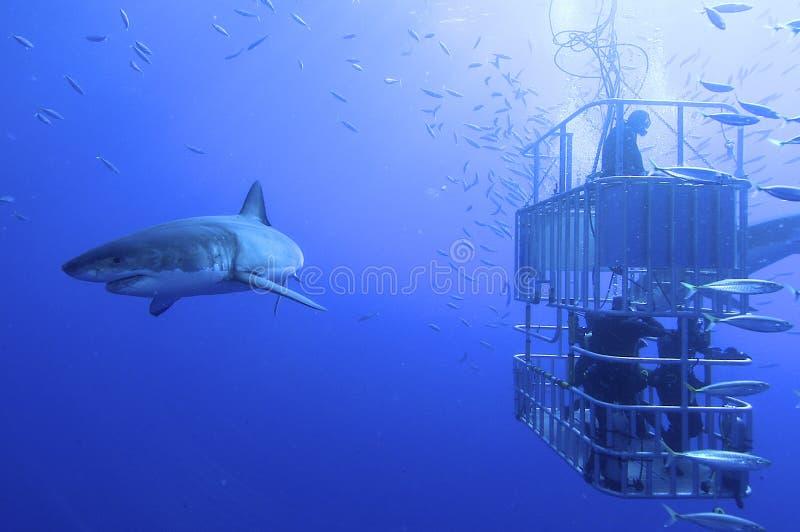 大白鲨鱼 库存照片