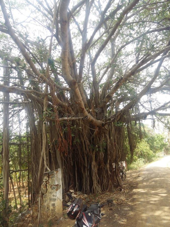 更大的树 库存图片