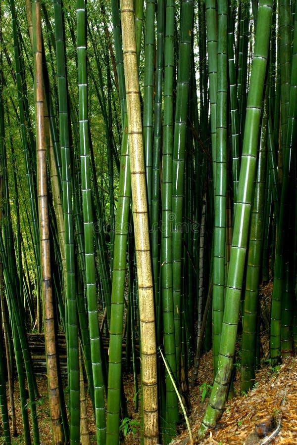 大的竹子 库存照片