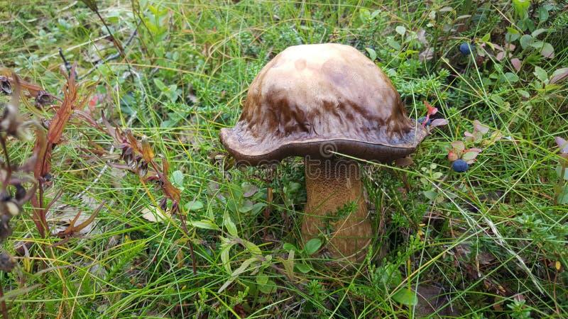 大真菌 库存图片