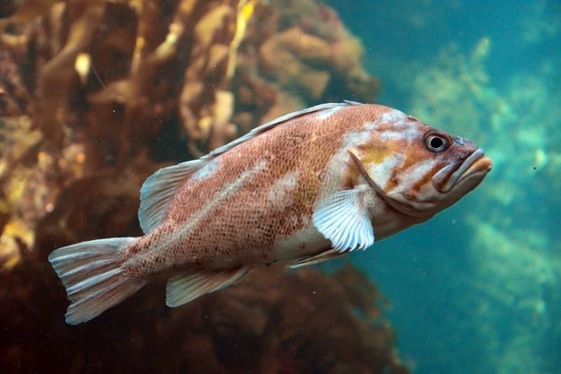 大石斑鱼 免版税库存照片