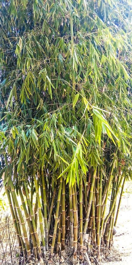 大竹树 库存照片
