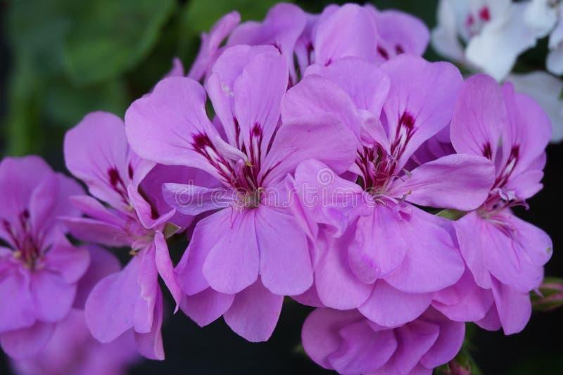大竺葵小组明亮的樱桃色的桃红色花照片  免版税库存图片