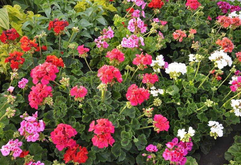 大竺葵开花从尼亚加拉在这湖街市的开花背景安大略省的 图库摄影
