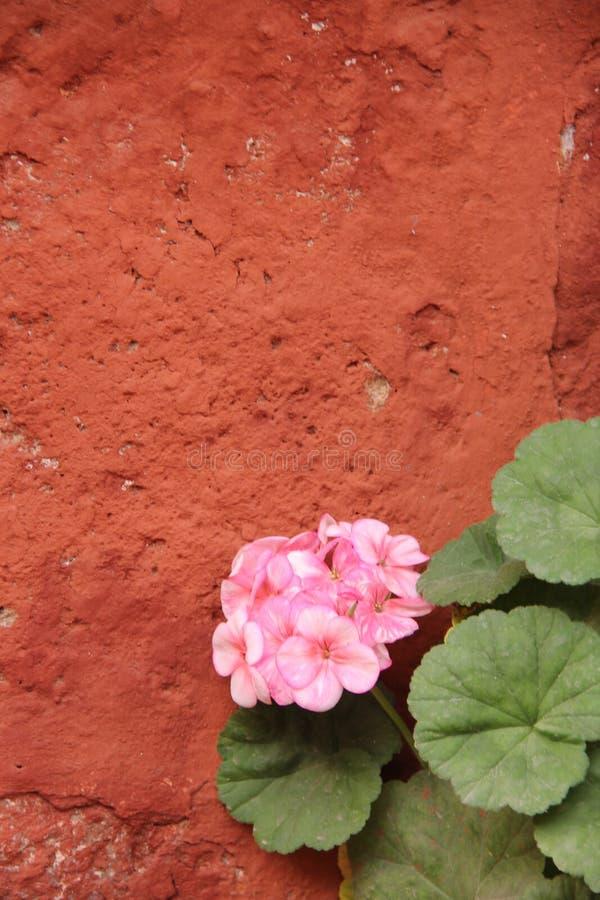 大竺葵的桃红色绽放 免版税库存图片