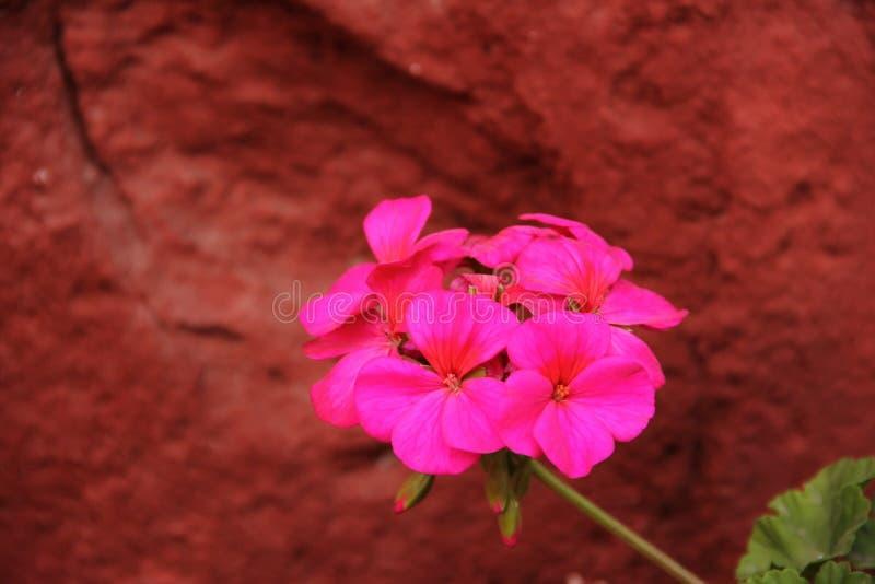 大竺葵的桃红色花 免版税库存图片