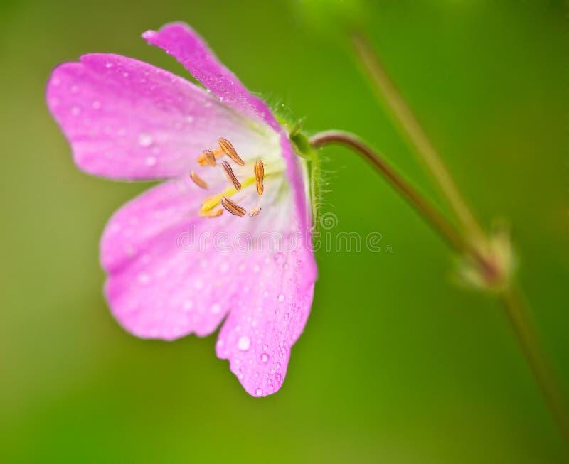 大竺葵通配maculatum的粉红色 免版税图库摄影