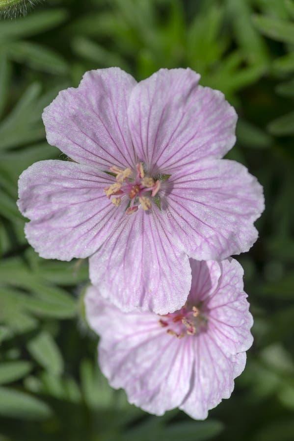 大竺葵sanguineum Striatum美丽的装饰公园开花植物,小组在绽放的浅粉红色的白花,绿色叶子 免版税库存图片