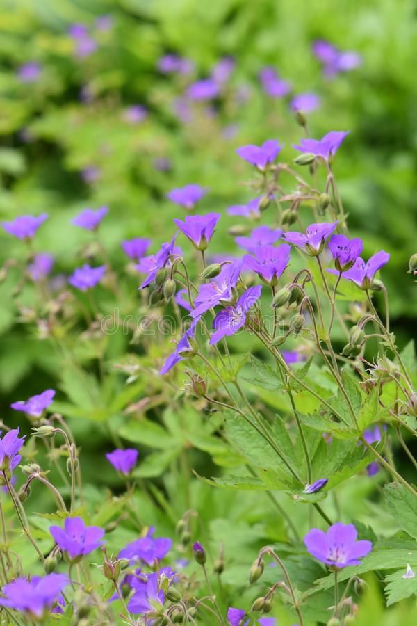 大竺葵sylvatica森林地cranesbill紫色 库存图片