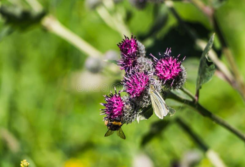 大粗野的明亮的黄色和褐色弄糟与花粉的蜂在他的毛皮和一只白色蝴蝶授粉紫色植物名花  图库摄影