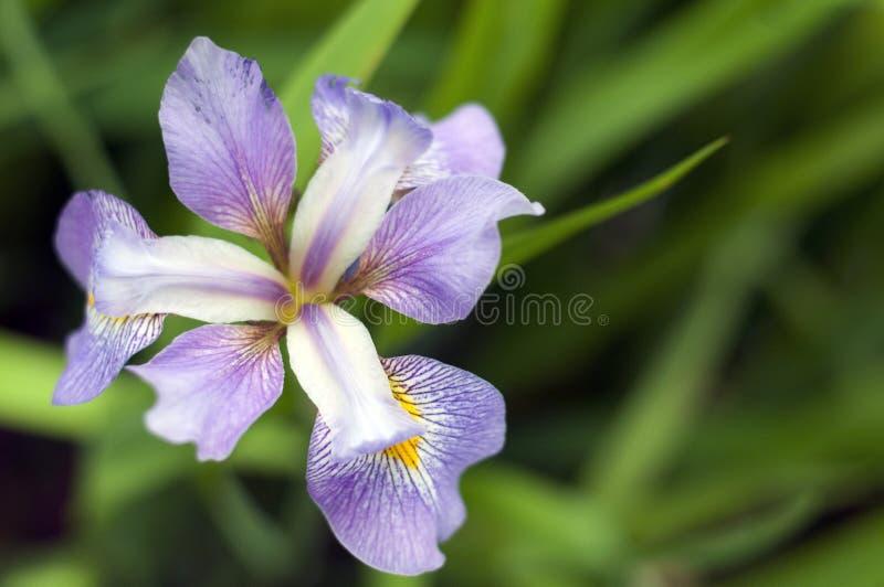 大紫色狂放的虹膜花 免版税库存照片
